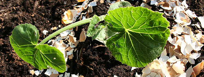 Egg shells protecting courgette from slugs