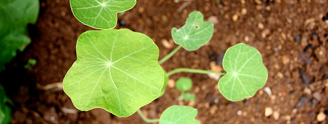 Young Nasturtium Plant