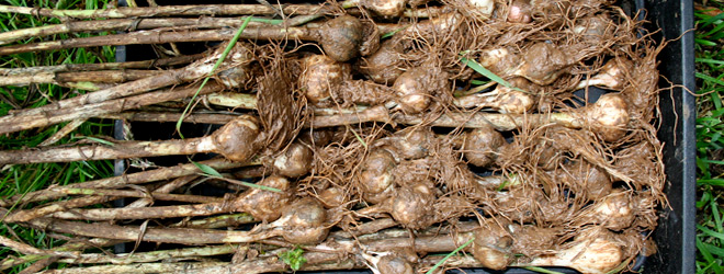 Freshly harvested garlic bulbs