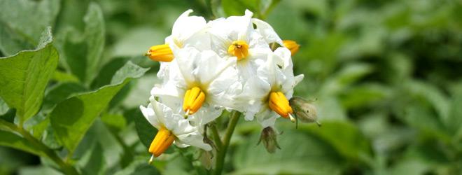 Potato flowers in bloom
