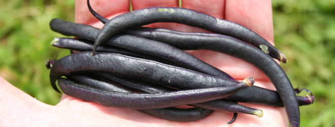 Harvest of purple dwarf french beans
