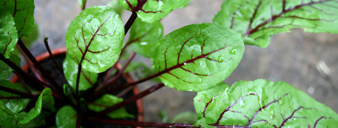 Purple veined sorrel plant