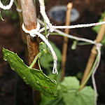 Canes and string support for mouse melons
