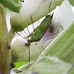 Green bug on broad bean