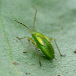 green insect on bean leaf