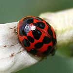 harlequin ladybird on broad beans