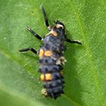 ladybird larvae on broad beans