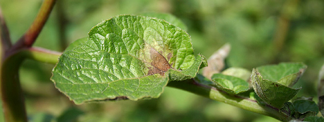 early stages of potato blight
