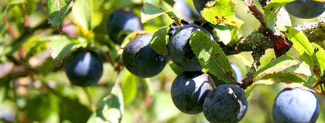 sloes or bullaces