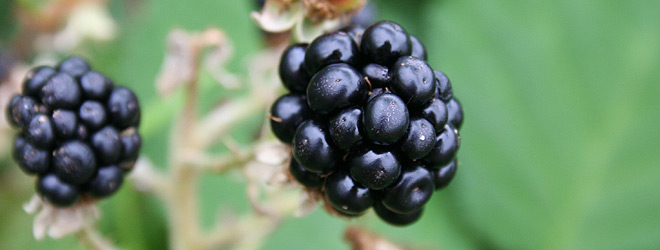 ... The Brewing Shed » How to make blackberry brandy. Or gin. Or vodka