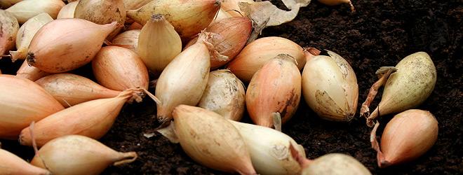 overwintering onion sets