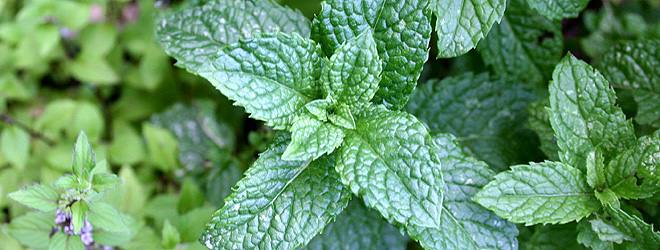 easy mint wine recipe