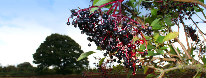 how to make elderberry wine recipe