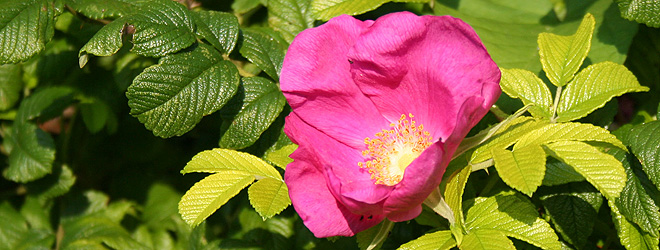 wild rose in the allotment hedge