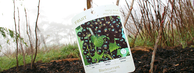 Guide to planting blackcurrants
