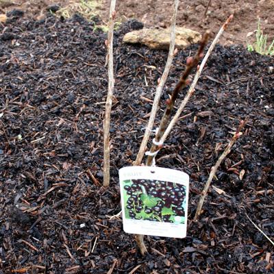 blackcurrant canes