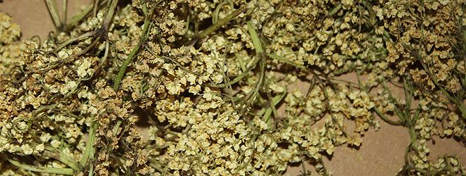 How to dry elderflowers
