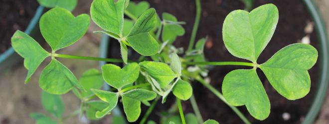 oca leaves