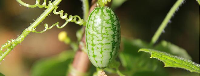 mouse melon harvest