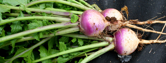 Turnip recipes