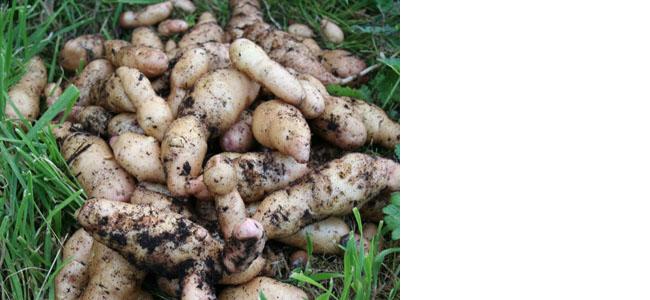 Pink Fir Potatoes