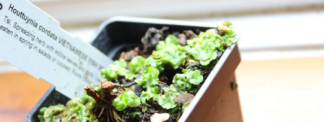 Fishwort Chameleon Plant