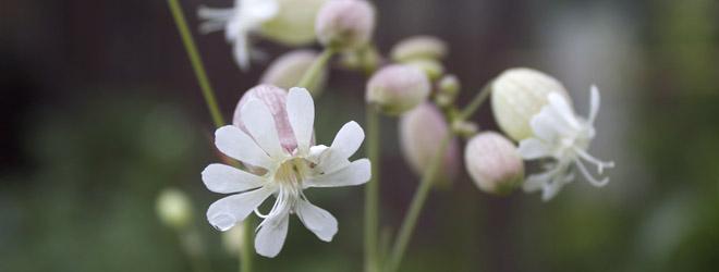stridolo flower