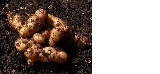 Potato Anya