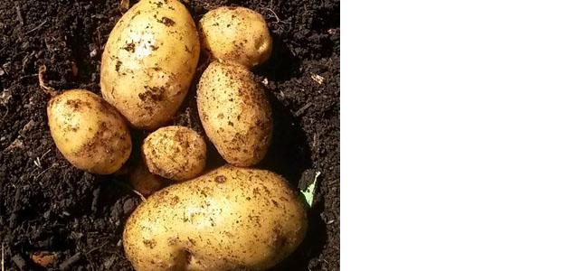 Potato Nicole