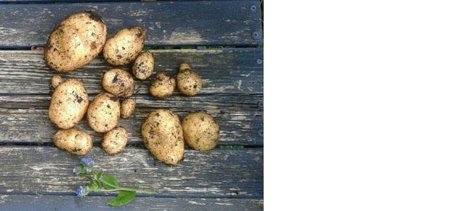 Potato Green Alexander