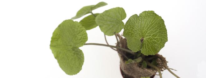 Growing wasabi UK