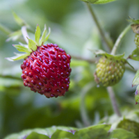 alpine strawberry plant