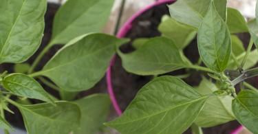 Jalapeno chilli pepper leaves
