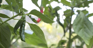 Grow Green Birds Eye Chilli