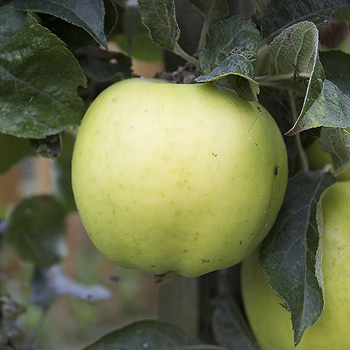ripe keswick codling apple