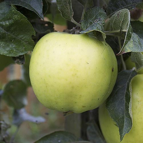 ripe keswick codling apple
