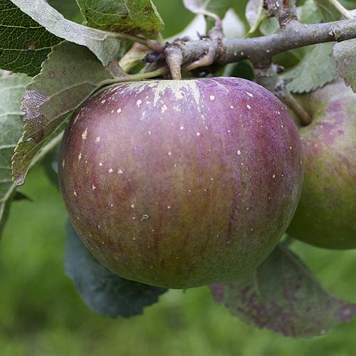 Lord Lambourne apple tree