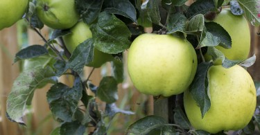 Keswick Codling branch apple photo