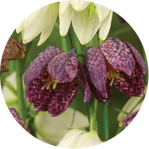 Fritllaria meleagris