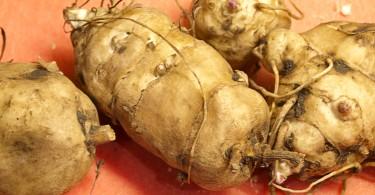 Fresh Jerusalem artichoke tubers
