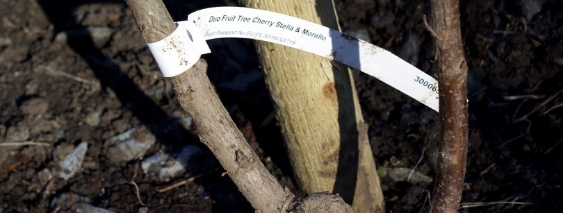 Cherry duo grafted rootstock