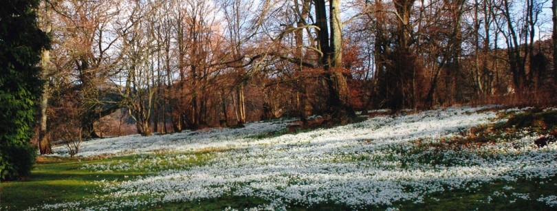 Kailzie Gardens Snwodrops