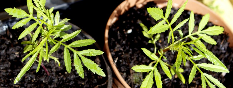 Mexican Marigold Plant Bindweed