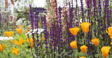 RHS Chelsea orange and purple