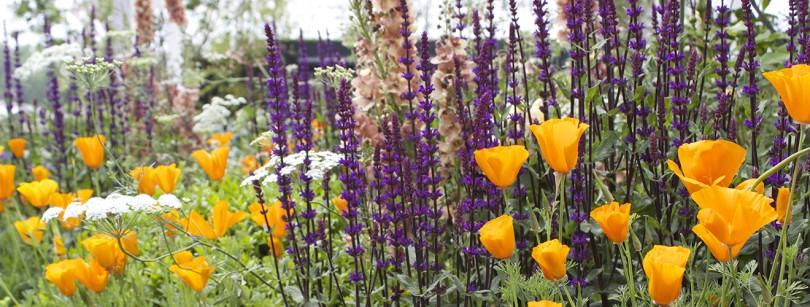 RHS Chelsea orange and purple