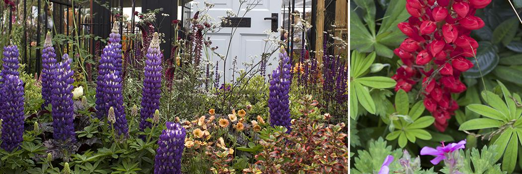 Chelsea Garden Design Lupins