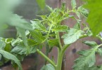 Healthy tomato plants in greenhouse