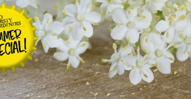 sparkling elderflower champagne recipe