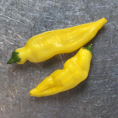 how to grow aji lemon chillis
