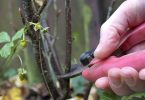 Winter Gardening blackcurrant bush